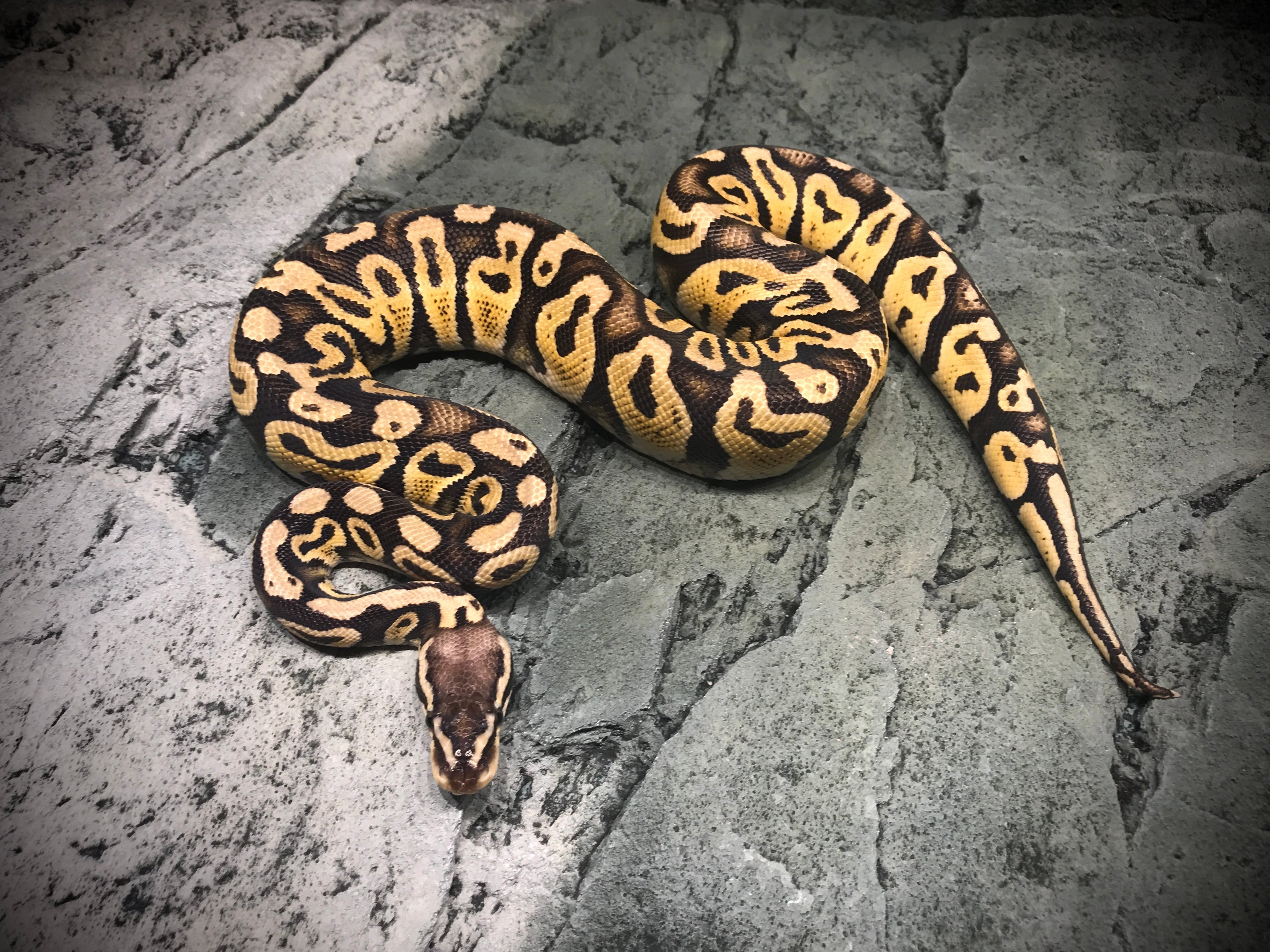Pastel yellow belly (mulig het clown)
